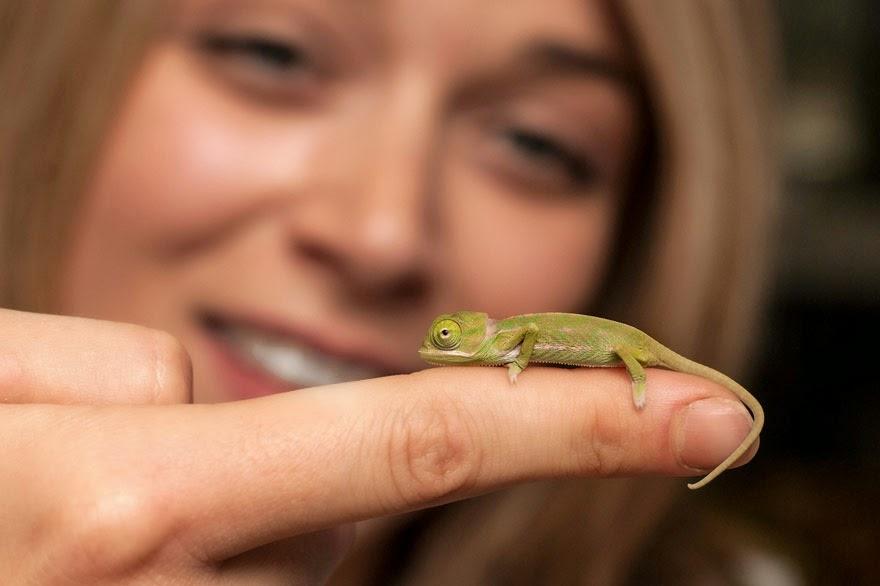newly born baby chameleons Sydney Taronga Zoo