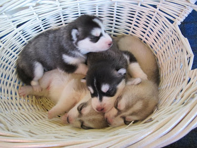 Husky puppies Seen On www.coolpicturegallery.us
