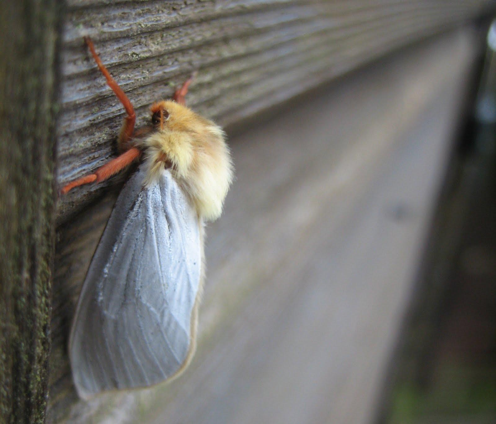 Small Moths In Bedroom Martins Moths June 2011