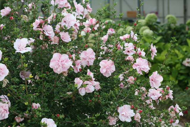 Pink Chiffon rose of Sharon from Proven Winners