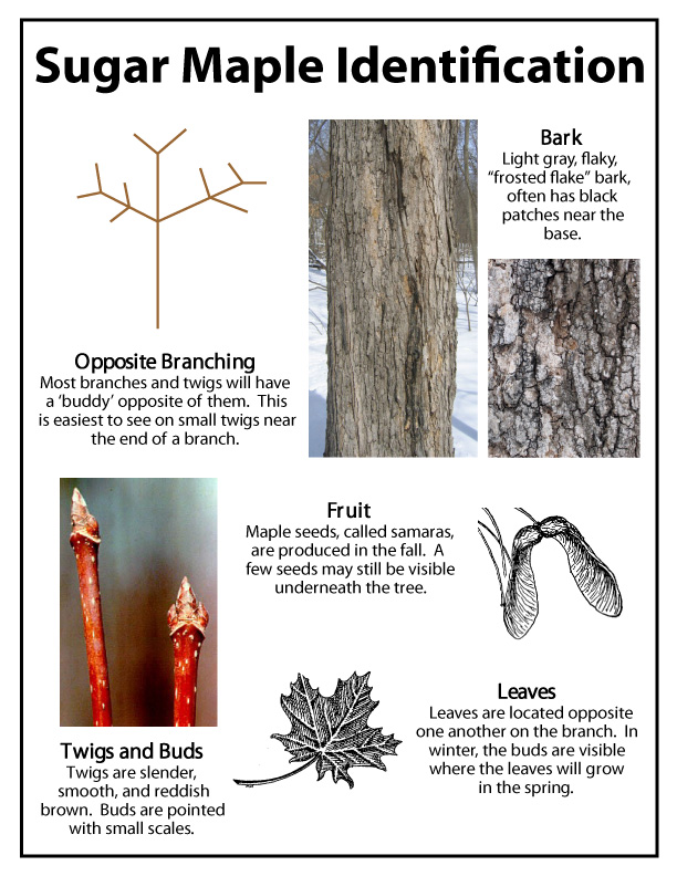 ~Ohio Thoughts~: Sugaring or Tapping Maple Trees | 612 x 792 jpeg 152kB