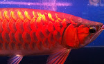 my blood red arowana
