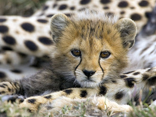 animal wallpaper litte cheetah cute animals wild big cat