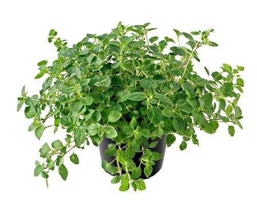 medicina buena para la gota el tomate de guiso es malo para el acido urico como regular el acido urico naturalmente