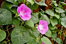 Morning Glory Love - Jul 11