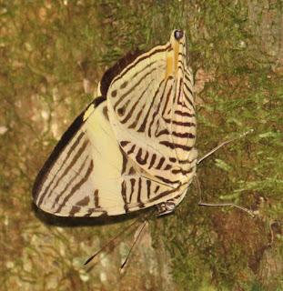 Colobura annulata, New Beauty