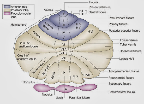 Cerebellum Diagram