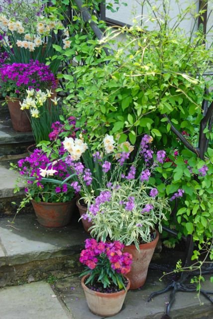 Pots of sage, daffodils, wall flowers and pinks on the front steps of the entrance house.