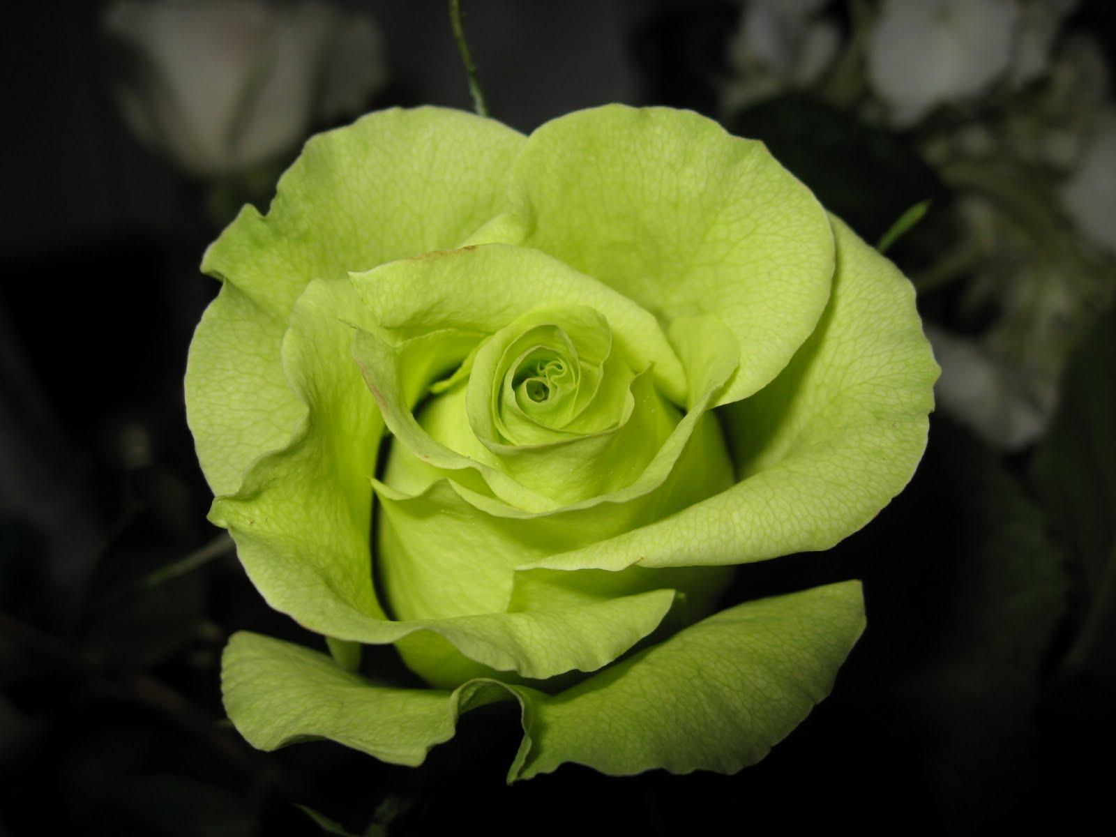 Green Rose Flowers Flower HD Wallpapers PIctures Tattoos and Desk