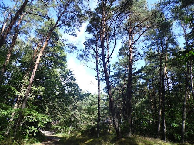 las pomiędzy Mielenkiem a Chłopami