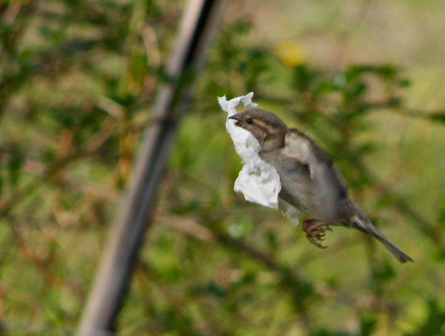 female house sparrow flies with tissue