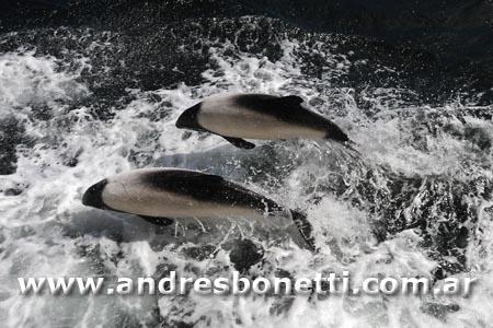 Tonina Overa - Commerson's Dolphin - Islas Malvinas - Falkland Islands - Andrés Bonetti