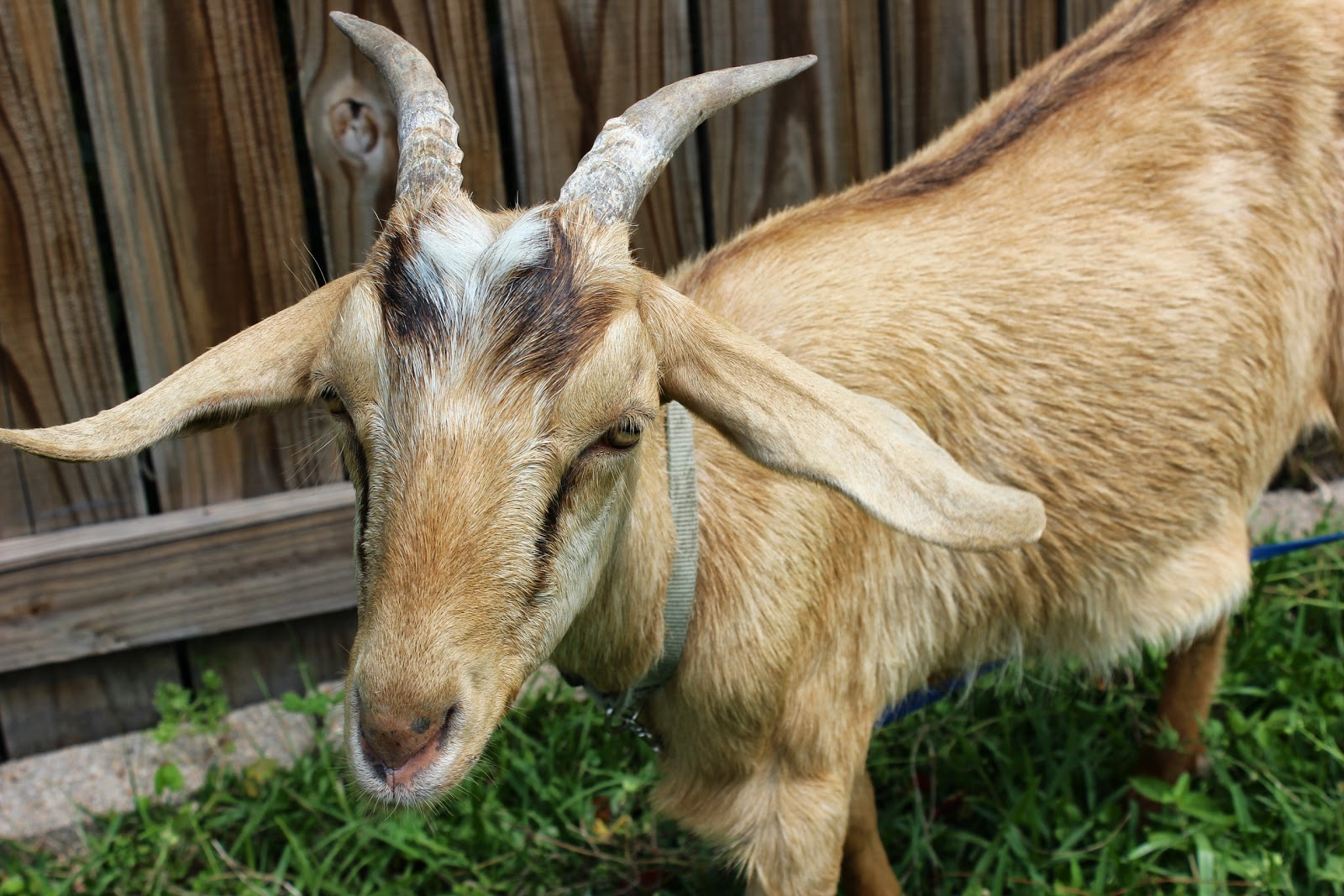 a gift of goats is a Send yourself or a loved one their very own pet goat.