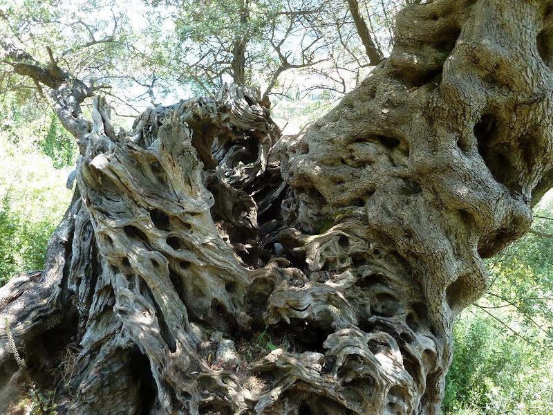 Olivenbaum bei Agios Nikitas (Lefkada, Griechenland)