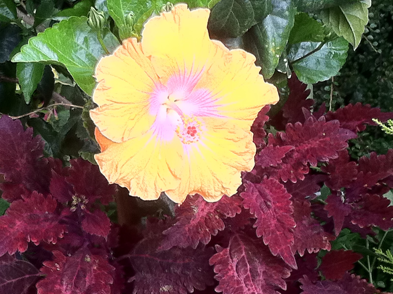 Hibiscus 39 Najanra 39 Les Jardins Botaniques De La Boirie