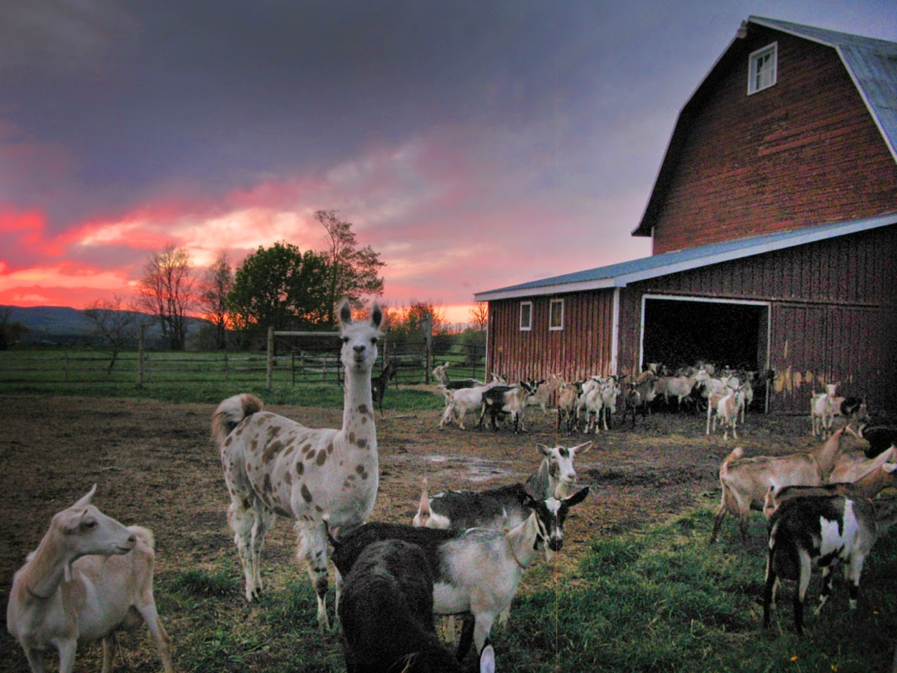 http://modernfarmer.com/2013/09/10-things-ive-learned-goat-beekman-boys/