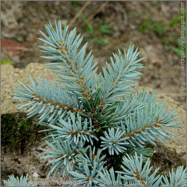 Picea pungens 'Montgomery' - Świerk kłujący 'Montgomery' igły