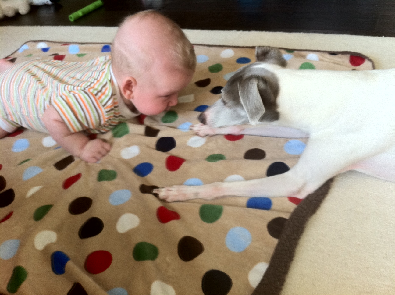Tummy-Time-Baby-Italian-Greyhound