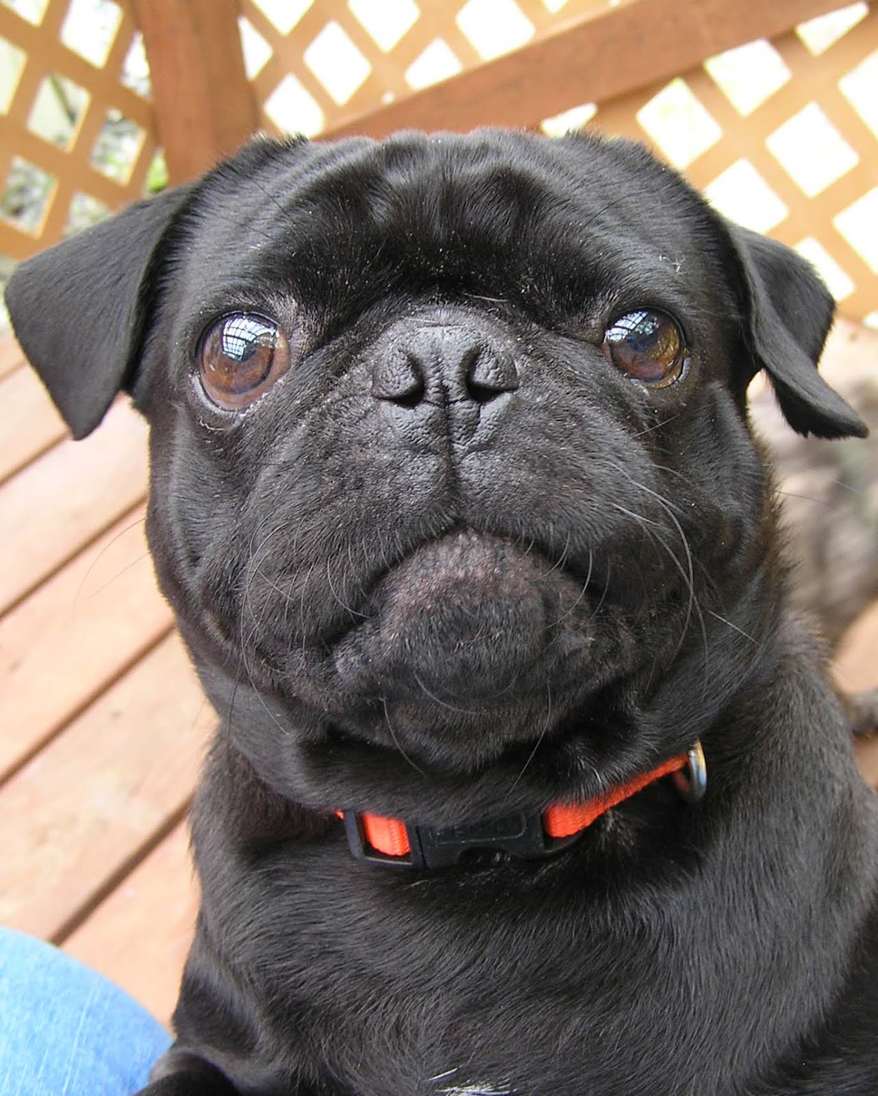 Dani Harper Toby the pug