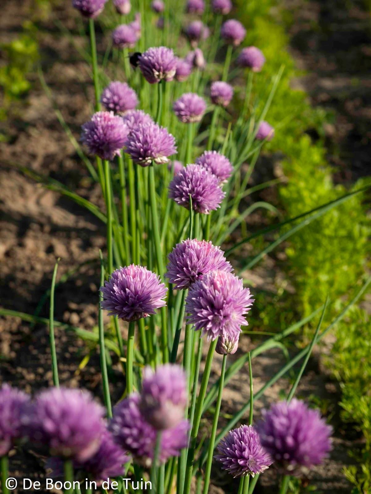 bloei bloeiende bieslook bijen moestuin volkstuin