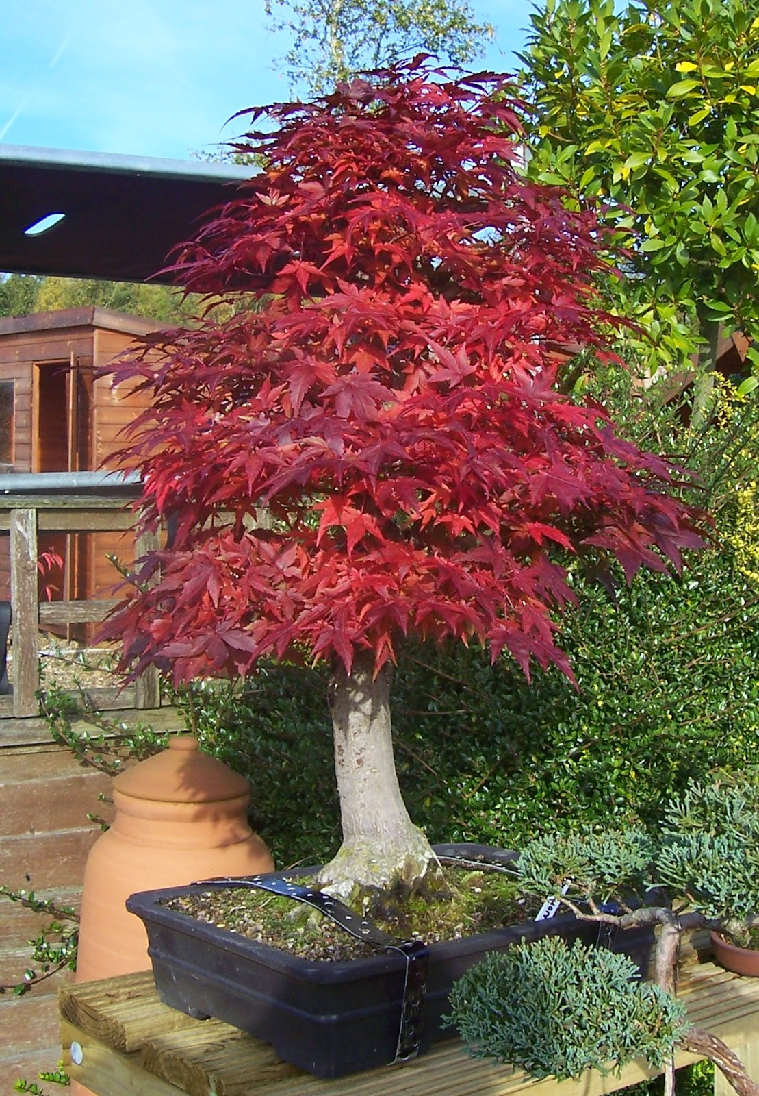 MiKo Bonsai Japanese Mountain Maple Progression Photos