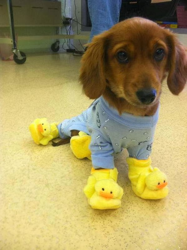 Cute dogs - part 8 (50 pics), puppy wears pajama and duck slippers