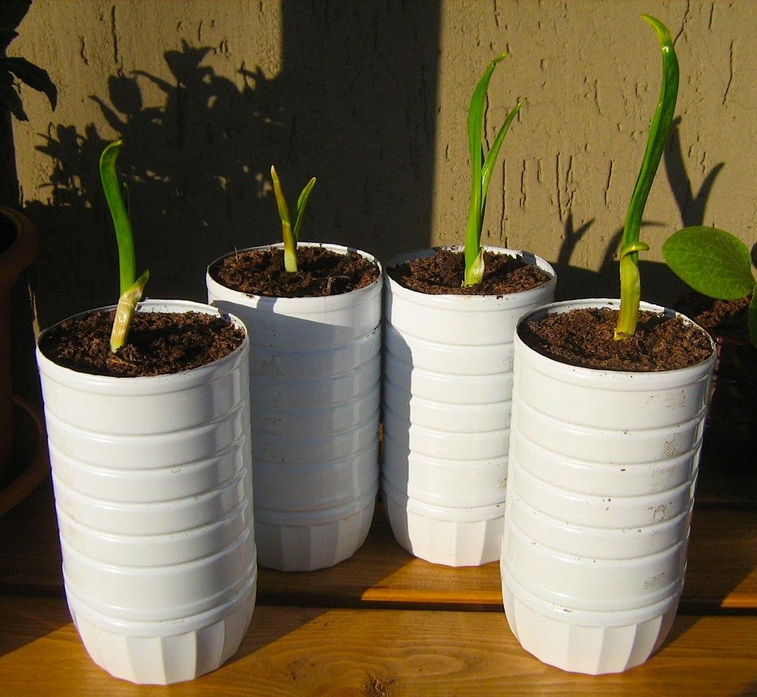 Chamerion blog di giardinaggio viaggi natura for Semina basilico in vaso