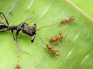 Semut Cecropia