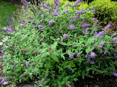 Dwarf Butterfly Bush Blue Chip