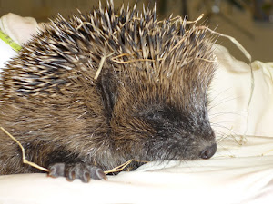 Look out for hedgehogs