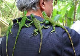 iguana mia,  iguana nyc,  iguana cafe,  iguana for sale,  iguana grill,  iguana food,  iguanodon,  iguana cage,  iguana pet,  iguanamed,  iguana diet,  iguana tweaks,  iguana as pets,  iguana animal,  iguana attack,