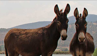 Donkeys in Israel