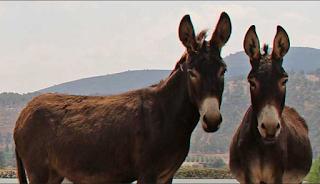 Donkeys in Israel
