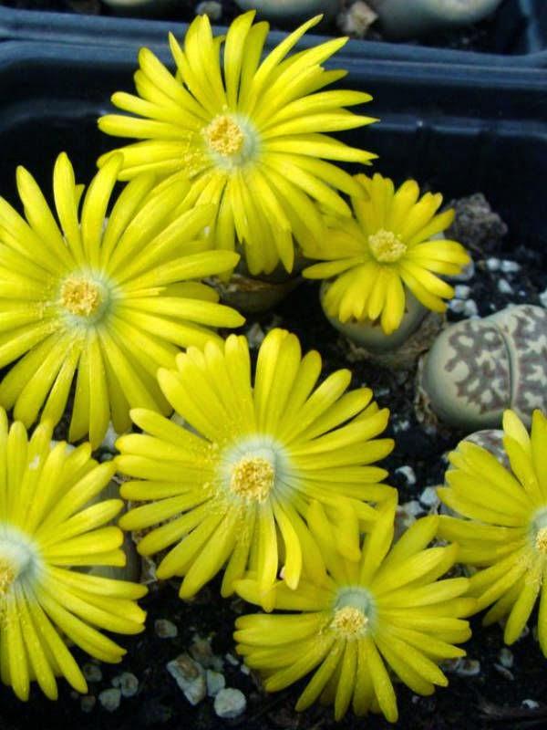 Living Stones [Lithops dorotheae; Family: Aizoaceae]