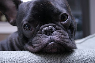 french bulldog com cara linda
