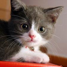 Gambar anak kucing parsi comel yang sangat gebu, hitam