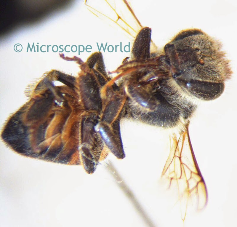 Bee 10x under stereo microscope