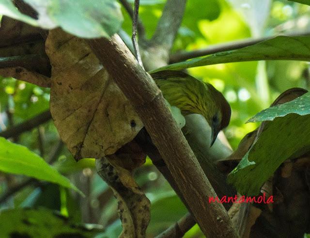 Striped Tit Babbler (Macronous gularis)