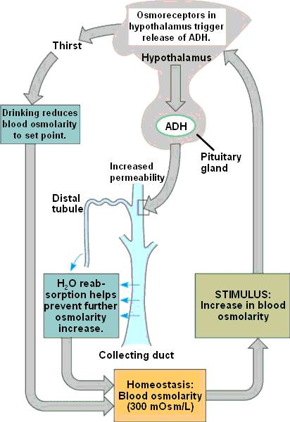 how water balance is regulated by adh biology essay Water balance by the end of this  describe the role of adh and its effect on body water levels  so how is water intake regulated by the body.