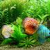 Pentingnya Menambahkan Tanaman Ke Dalam Aquarium Ikan Discus Anda