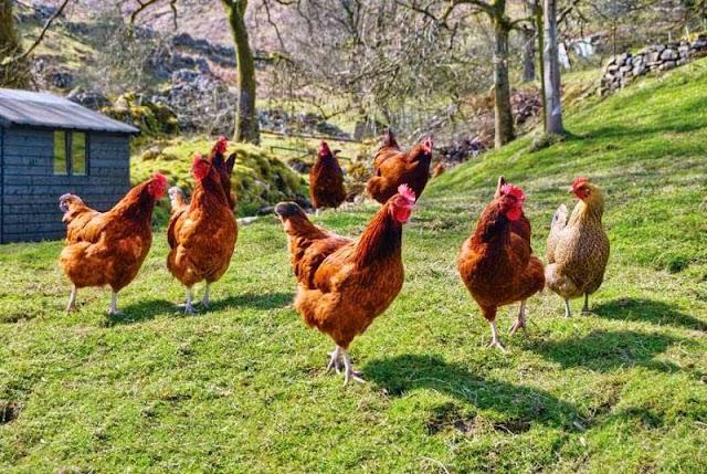 varias gallinas coloradas en el campo