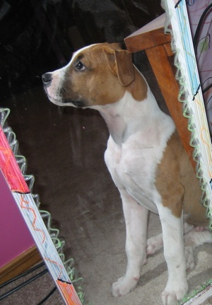 Pictures pitbull boxer mix puppies