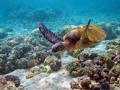 image de tortue dans le corail marin