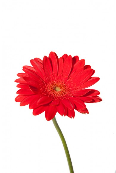 Red Gerbera Daisy Flower Blooming video Red Daisy Clipart