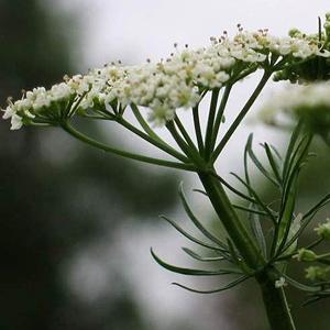 Cumin | Cuminum cyminum | Apiaceae