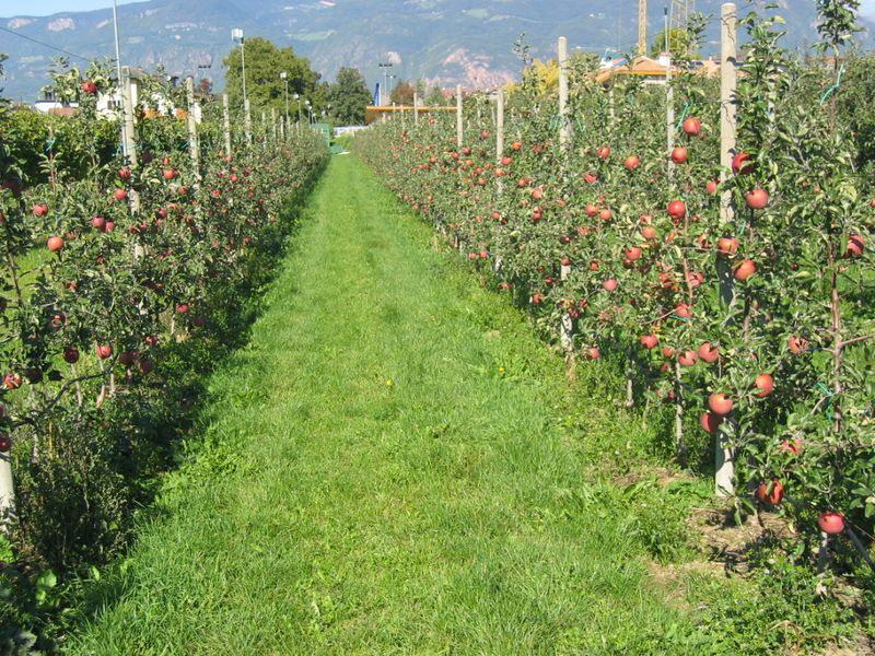 Ingerto en vegetales - Plantar arboles frutales ...