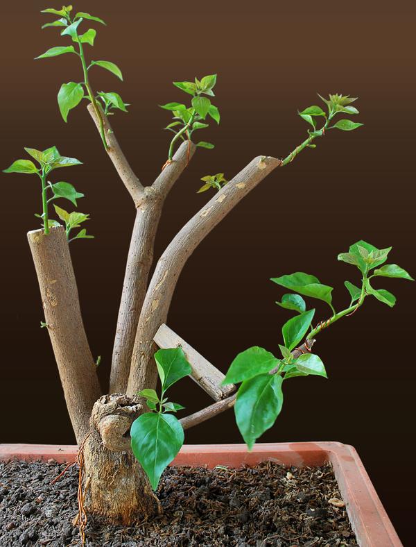 bougainvillea bonsai stump www imgkid com the image Wisteria Bonsai Bonsai Tree Tools