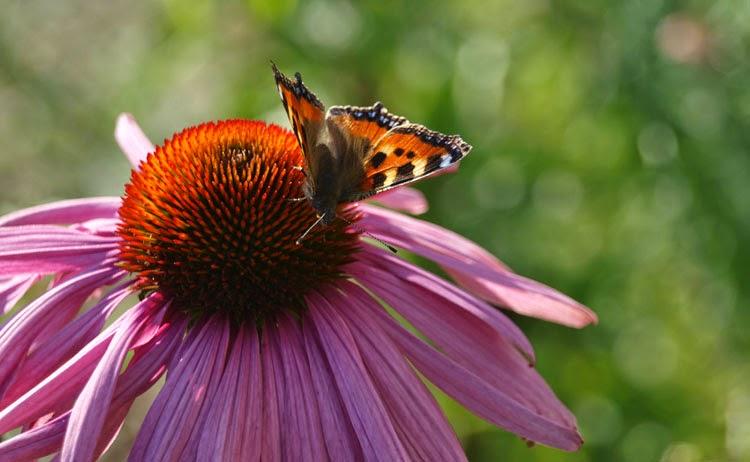 Ecinacea er en dejlig staude i haven, som lokker sommerfuglene til