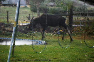 Moose in the sprinklers - Wallsburg, Utah