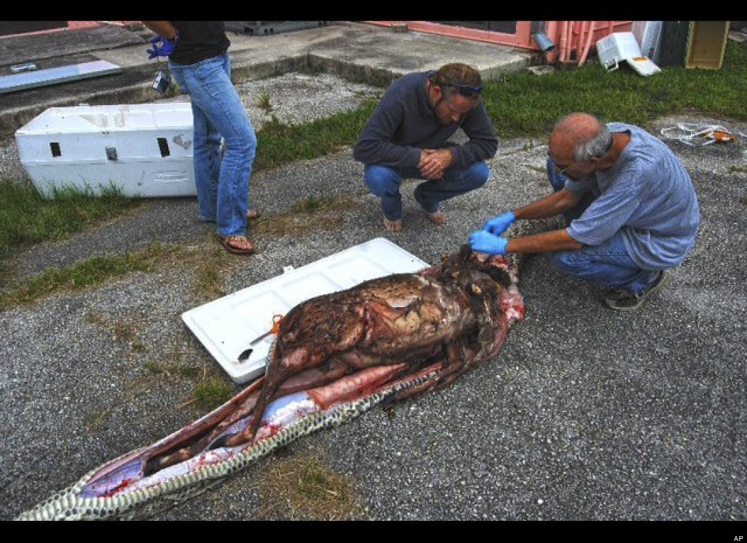http://2.bp.blogspot.com/-1Qp7pWqFUJs/Tq-9akRvNAI/AAAAAAAAK9o/VzcSuNV5FKE/s1600/python-burmese-everglades-deer2.jpg
